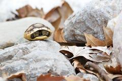 Schildpad op een rots Stock Fotografie