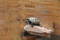 Schildpad op een rots stock foto