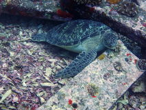 Schildpad op granietblokken Stock Afbeeldingen