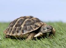 Schildpad op gras Stock Foto's