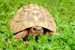Schildpad op gras Stock Foto