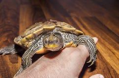 Schildpad op hand Royalty-vrije Stock Foto