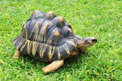 Schildpad op het gras stock foto's