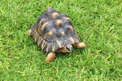 Schildpad op het gras stock afbeelding
