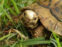 Schildpad op het groene gras Stock Fotografie