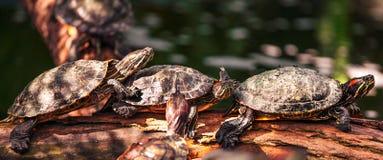 Schildpad op het logboek Stock Afbeeldingen