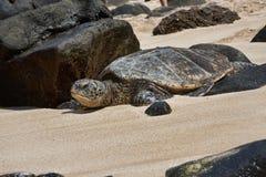 Schildpad op Laniakea Strand Oahu Hawaï Stock Fotografie