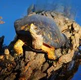 Schildpad op login een Vijver Stock Afbeeldingen