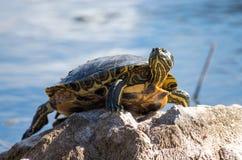Schildpad op rots stock foto's