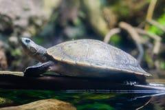 Schildpad op tak in water Royalty-vrije Stock Foto