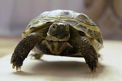 Schildpad op vage achtergrond Stock Foto