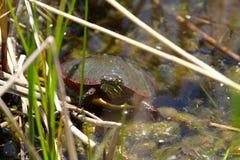 Schildpad op vijver Stock Afbeeldingen