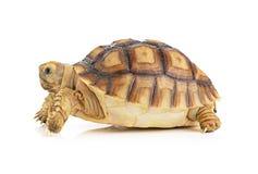 Schildpad op witte achtergrond Stock Foto's