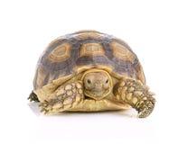 Schildpad op witte achtergrond Royalty-vrije Stock Foto