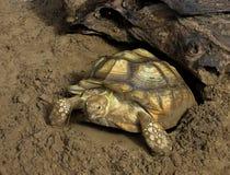 Schildpad op zand Royalty-vrije Stock Foto