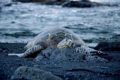Schildpad op zwart zandstrand royalty-vrije stock afbeeldingen