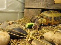 Schildpad over land Stock Afbeelding