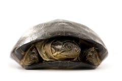 Schildpad - pelusios subniger royalty-vrije stock afbeelding