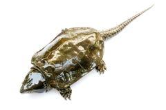 Schildpad & x22; Platysternon megacephalum& x22; voor een witte achtergrond, is een zoetwaterschildpad, vleesetend, Platysternon- stock foto
