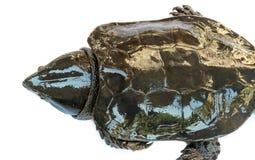 Schildpad & x22; Platysternon megacephalum& x22; voor een witte achtergrond, is een zoetwaterschildpad, vleesetend, Platysternon- royalty-vrije stock foto