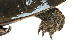 Schildpad & x22; Platysternon megacephalum& x22; voor een witte achtergrond, is een zoetwaterschildpad, vleesetend, Platysternon- stock afbeeldingen