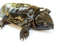 Schildpad & x22; Platysternon megacephalum& x22; voor een witte achtergrond, is een zoetwaterschildpad, vleesetend, Platysternon- stock afbeelding