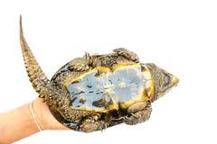 Schildpad & x22; Platysternon megacephalum& x22; voor een witte achtergrond, is een zoetwaterschildpad, vleesetend, Platysternon- stock foto's