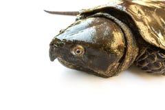 Schildpad ' Platysternon megacephalum' voor een witte achtergrond, is een zoetwaterschildpad, vleesetend, Platysternon-megacephal stock afbeelding