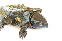 Schildpad & x22; Platysternon megacephalum& x22; voor een witte achtergrond, is een zoetwaterschildpad, vleesetend, Platysternon- royalty-vrije stock afbeeldingen