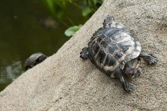 Schildpad in ras Stock Afbeelding