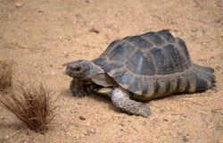 Schildpad, schildpad Stock Afbeeldingen