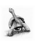 Schildpad, Schildpad, Originele Potloodtekening Uit de vrije hand Royalty-vrije Stock Afbeelding