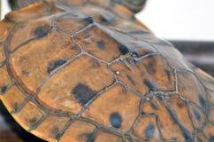 Schildpad Shell Royalty-vrije Stock Foto
