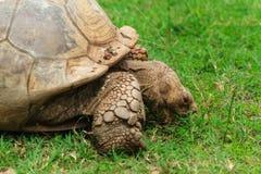 Schildpad, Snacking Stock Afbeeldingen