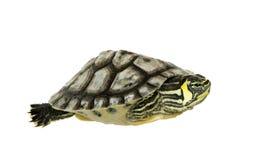 Schildpad - trachemys Stock Afbeeldingen