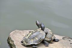 Schildpad twee bij het water Stock Afbeelding