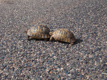 Schildpad twee kruist de weg stock afbeeldingen