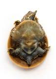 Schildpad van Hatchlings de Doornige Softshell - Plastron (maag) Royalty-vrije Stock Fotografie