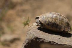 Schildpad verbergende shell Stock Afbeeldingen