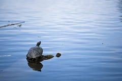 Schildpad in water Stock Afbeeldingen