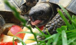 Schildpad zelenavà ¡ Testudo hermanni Stock Foto's