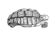 Schildpad Zwarte op Wit Royalty-vrije Stock Foto's