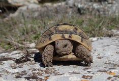 Schildpadbaby op een rots Stock Afbeelding