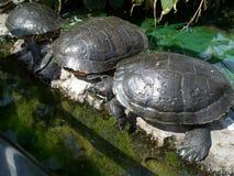schildpadden Royalty-vrije Stock Afbeeldingen