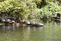 Schildpadden stock foto's