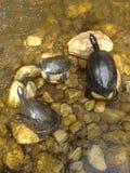 schildpadden Stock Foto