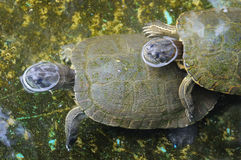Schildpadden Royalty-vrije Stock Afbeelding
