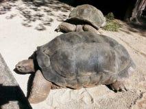 schildpadden Stock Afbeeldingen