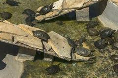 Schildpadden in aquarium Stock Foto