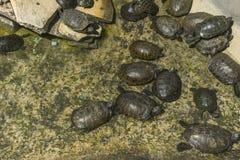 Schildpadden in aquarium Royalty-vrije Stock Afbeelding